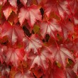 Wilder Wein - Virginia creeper 13 - Stock Photo