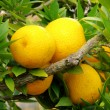 Zitrone am Baum - lemon on tree 04 — Stock Photo