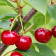 Stock Photo: Sour cherry
