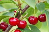 Sour cherry — Stock Photo
