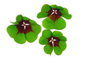 Four leafed clover — Stock Photo