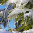 Spruce twig in snow — Stock Photo #16333831