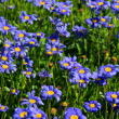 Stock Photo: Garden marguerite