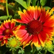 Blanket flower — Stock Photo