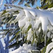 Spruce twig in snow — Stock Photo