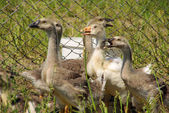 Geese in a corral — Stock Photo