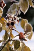 Quadril no inverno — Fotografia Stock