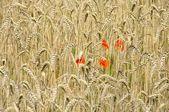 Corn poppy in field — Stock Photo