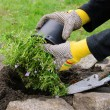 Stock Photo: Shrub planting