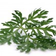 Wormwood — Stock Photo