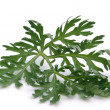 Wormwood — Stock Photo #17386881