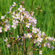 Cuckoo Flower — Stock Photo #17386951