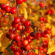 Wild cherry in fall — Stock Photo #17387019