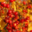 Stock Photo: Wild cherry in fall