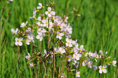 Cuckoo Flower — Stock Photo