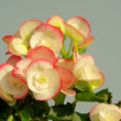 Begonia — Stock Photo