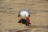 Gull with fish — Stock Photo