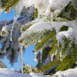 Spruce twig in snow — Stock Photo #17707493