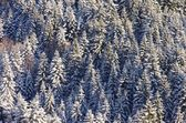 Spruce forest in winter — Stock Photo