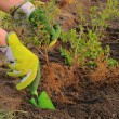Stock Photo: Planting hedge