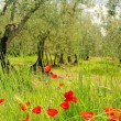Stock Photo: Corn poppy in olive grove