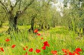Corn poppy in olive grove — Stock Photo