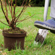 Stock Photo: Planting shrub