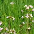 Cuckoo Flower — Stock Photo #17988989