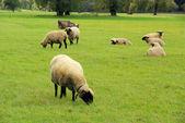 The sheep — Stock Photo