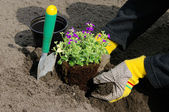 Shrub planting — Stock Photo