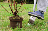 Planting a shrub — Stock Photo