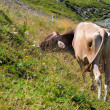 Alp cow — Stock Photo