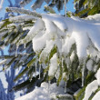 Spruce twig in snow — Stock Photo #18567459