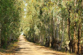 Eukaliptus — Zdjęcie stockowe