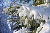 Smrkové větvičky ve sněhu — Stock fotografie