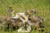 Funny geese — Stock Photo