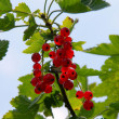 Stock Photo: Currant bush