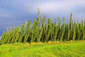 Hop field — Stock Photo
