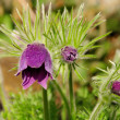 pasque flower — Stock Photo #18608251