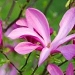 Magnolia — Stock Photo
