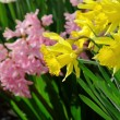 Stock Photo: Daffodil and hyacinth