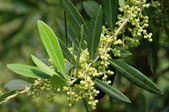 Olive tree blossom — Stock Photo