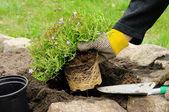 Shrub planting — Stock Photo