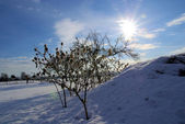 Thorn apple in winter — Stock Photo