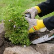 Staude einpflanzen - shrub planting 07 — Stock Photo