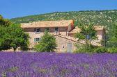 Lavendelfeld - lavender field 27 — Stock Photo