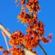 Hamamelis 40 — Stock Photo