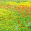 Stock Photo: Klatschmohn - corn poppy 41