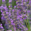 Lavendel - lavender 87 — Stock Photo #19441375
