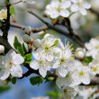 Pflaumenbaumbluete - plum blossom 01 — Stock Photo